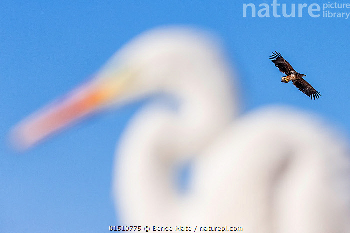 White-tailed Eagle (Haliaeetus albicilla) flying, with Great egret (Ardea alba) in the foreground, Lake Csaj, Pusztaszer, Hungary. February. Winner of the Portfolio category of the Terre Sauvage Nature Images Awards competition 2015.  ,  catalogue8,,Animal,Vertebrate,Bird,Birds,Sea eagle,White tailed sea eagle,Typical heron,Great egret,Animalia,Animal,Wildlife,Vertebrate,Aves,Bird,Birds,Accipitriformes,Accipitridae,Haliaeetus,Sea eagle,Eagle,Bird of prey,Raptor,Haliaeetus albicilla,White tailed sea eagle,White tailed eagle,Pelecaniformes,Ardeidae,Ardea,Typical heron,Heron,Ardeinae,Ardea alba,Great egret,Great white egret,Large egret,Great white heron,Casmerodius albus,Egretta alba,Flying,Contrasts,Two,Nobody,Size,Giant,Huge,Massive,Europe,Eastern Europe,East Europe,Hungary,Camera Focus,Selective Focus,Focus On Foreground,Focus On Foregrounds,Sky,Outdoors,Open Air,Outside,Winter,Day,Predator,Predators,Nature,Natural,Natural World,Wild,Reserve,Arty shots,Abstract,Abstracts,Mixed species,Protected area,National Park,Flight,Two animals,Shallow depth of field,Low depth of field,Blue sky,Jalohaikara,Lake Csaj,  ,  Bence  Mate