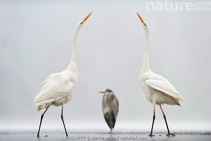 Two Great egrets (Ardea alba) standing opposite each other with Grey heron (Ardea cinerea) in between. Lake Csaj, Pusztaszer, Hungary, January. Winner of the Portfolio category of the Terre Sauvage Nature Images Awards competition 2015.  ,  catalogue8,,Animal,Vertebrate,Bird,Birds,Typical heron,Great egret,Grey heron,Animalia,Animal,Wildlife,Vertebrate,Aves,Bird,Birds,Pelecaniformes,Ardeidae,Ardea,Typical heron,Heron,Ardeinae,Ardea alba,Great egret,Great white egret,Large egret,Great white heron,Casmerodius albus,Egretta alba,Ardea cinerea,Grey heron,Ignoring,Ignore,Stretching,Greeting,Courting,Contrasts,Opposites,Same,Symmetry,Face To Face,Face Each Other,Facing Each Other,Few,Three,Group,Nobody,Temperature,Cold,Europe,Eastern Europe,East Europe,Hungary,Full Length,Full Lengths,Whole,Side View,Camera Focus,Selective Focus,Focus On Foreground,Focus On Foregrounds,Mist,Outdoors,Open Air,Outside,Winter,Day,Nature,Natural,Natural World,Wild,Animal Behaviour,Mating Behaviour,Courtship,Mixed species,Behaviour,Shallow depth of field,Low depth of field,Three Animals,Welcoming,Regal,Jalohaikara,Lake Csaj,  ,  Bence  Mate