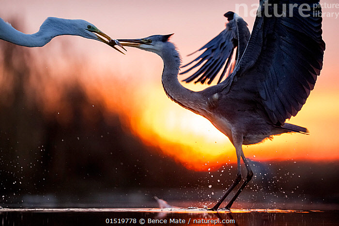 Grey heron (Ardea cinerea) and Great egret (Ardea alba) fighting over fish, Lake Csaj, Pusztaszer, Hungary, December. Winner of the Portfolio category of the Terre Sauvage Nature Images Awards competition 2015., catalogue8,,Animal,Vertebrate,Bird,Birds,Typical heron,Great egret,Grey heron,Animalia,Animal,Wildlife,Vertebrate,Aves,Bird,Birds,Pelecaniformes,Ardeidae,Ardea,Typical heron,Heron,Ardeinae,Ardea alba,Great egret,Great white egret,Large egret,Great white heron,Casmerodius albus,Egretta alba,Ardea cinerea,Grey heron,Arguing,Touching,Touch,Rivalry,Rival,Rivals,Face To Face,Face Each Other,Facing Each Other,Two,Nobody,Affectionate,Affection,Europe,Eastern Europe,East Europe,Hungary,Full Length,Full Lengths,Whole,Close Up,Side View,Animal Necks,Neck,Necks,Beak,Beaks,Sunset,Setting Sun,Sunsets,Outdoors,Open Air,Outside,Day,Animal Behaviour,Aggression,Fighting,Mixed species,Behaviour,Dusk,Two animals,Jalohaikara,Lake Csaj,, Bence  Mate
