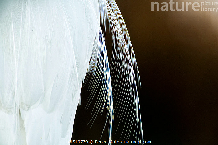 Great egret (Ardea alba) close up of feathers, Lake Csaj, Pusztaszer, Hungary, December. Winner of the Portfolio category of the Terre Sauvage Nature Images Awards competition 2015.  ,  catalogue8,,Animal,Vertebrate,Bird,Birds,Typical heron,Great egret,Animalia,Animal,Wildlife,Vertebrate,Aves,Bird,Birds,Pelecaniformes,Ardeidae,Ardea,Typical heron,Heron,Ardeinae,Ardea alba,Great egret,Great white egret,Large egret,Great white heron,Casmerodius albus,Egretta alba,Fragility,Fragile,Purity,Colour,White,Nobody,Part Of,Soft,Softness,Europe,Eastern Europe,East Europe,Hungary,Copy Space,Close Up,Feather,Feathers,Outdoors,Open Air,Outside,Day,Abstract,Abstracts,Negative space,White colour,Jalohaikara,Lake Csaj,  ,  Bence  Mate