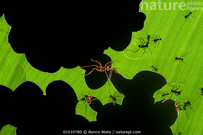 Leafcutter ants (Atta sp) colony harvesting a banana leaf, Costa Rica. 3rd place in the Insects and Spiders category of the Terre Sauvage Nature Images Awards competitions 2015., catalogue8,,Animal,Arthropod,Insect,Ant,Leafcutter ant,Animalia,Animal,Wildlife,Hexapoda,Arthropod,Invertebrate,Hexapod,Arthropoda,Insecta,Insect,Hymenoptera,Hymenopterans,Formicidae,Ant,Atta,Leafcutter ant,Leaf cutter ant,Fungus growing ant,Cutting,Bite Marks,Bitten,Teamwork,Colour,Black,Green,Group Of Animals,Animal Colony,Group,Large Group,Nobody,Vibrant Colour,Shape,Shapes,Latin America,Central America,Costa Rica,Close Up,Back Lit,Backlit,Plant,Leaf,Foliage,Banana Leaf,Banana Leaves,Outdoors,Open Air,Outside,Nature,Natural,Natural World,Wild,Animal Behaviour,Feeding,Abstract,Abstracts,Silhouette,Behaviour,Biodiversity hotspot,Worker,Green colour,, Bence  Mate