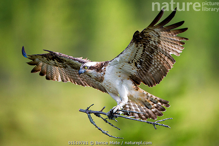Osprey (Pandion haliaetus) in flight with nesting material, Hungary, July. Nominated in the Telephoto category of the Terre Sauvage Nature Images Awards competition 2015.  ,  high15,,Animal,Vertebrate,Bird,Birds,Osprey,Animalia,Animal,Wildlife,Vertebrate,Aves,Bird,Birds,Accipitriformes,Pandionidae,Osprey,Bird of prey,Raptor,Pandion,Pandion haliaetus,Flying,Carries,Carry,Determination,On The Move,Colour,Brown,Nobody,Europe,Eastern Europe,East Europe,Hungary,Claw,Claws,Talon,Talons,Feather,Feathers,Wing,Wings,Animal Home,Stick,Sticks,Nest,Nesting,Outdoors,Open Air,Outside,Day,Nature,Natural,Natural World,Wild,Animal Behaviour,Nesting behaviour,Nest building,Behaviour,Flight,Wings spread,Wingspan,Plumage,Moving,Brown Colour,  ,  Bence  Mate