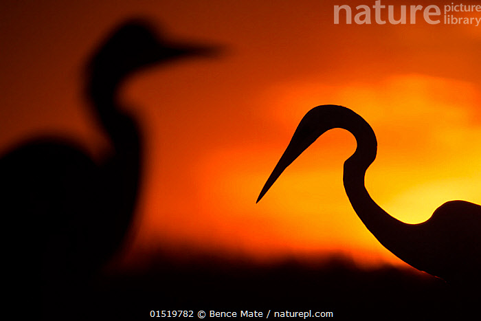 Great white egret (Ardea alba) silhouetted at sunset, Lake Csaj, Pusztaszer, Hungary, February. Winner of the Portfolio category of the Terre Sauvage Nature Images Awards competition 2015.  ,  high15,,Animal,Vertebrate,Bird,Birds,Typical heron,Great egret,Animalia,Animal,Wildlife,Vertebrate,Aves,Bird,Birds,Pelecaniformes,Ardeidae,Ardea,Typical heron,Heron,Ardeinae,Ardea alba,Great egret,Great white egret,Large egret,Great white heron,Casmerodius albus,Egretta alba,Memories,Mystery,Mysterious,Colour,Orange,Yellow,Face To Face,Face Each Other,Facing Each Other,Two,Nobody,Vibrant Colour,Europe,Eastern Europe,East Europe,Hungary,Profile,Side View,Back Lit,Backlit,Animal Necks,Neck,Necks,Sky,Sunset,Setting Sun,Sunsets,Outdoors,Open Air,Outside,Night,Freshwater,Lake,Water,Silhouette,Dusk,Two animals,Jalohaikara,Yellow Colour,Lake Csaj,Pusztazer,  ,  Bence  Mate