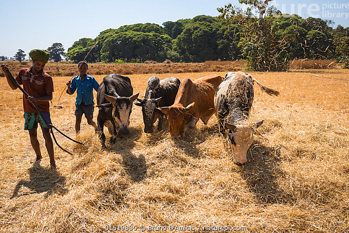 Amhara farmers with cattle grazing on harvested Millet, (Panicum miliaceum) Jimba, Bahir Dar. Lake Tana Biosphere Reserve. Ethiopia, December 2013.  ,  Winnowing,People,African Descent,East African Descent,Ethiopian Ethnicity,Male,Man,Africa,East Africa,Ethiopia,Animal,Livestock,Feeding,Grazing,Reserve,Domestic animal,Cattle,Cows,Protected area,Zebu,Bos indicus,Mammal,Lake Tana  ,  Bruno D'Amicis