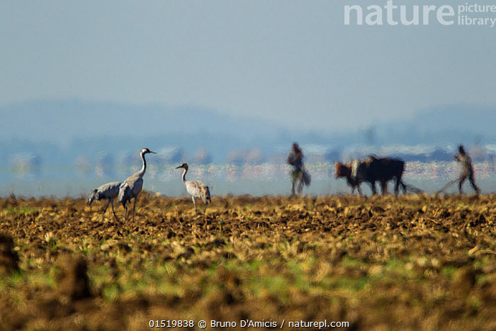 Common cranes (Grus gurs) in field with people and cattle in the background, Lake Tana Biosphere Reserve, Ethiopia. December 2013.  ,  People,African Descent,East African Descent,Ethiopian Ethnicity,Africa,East Africa,Ethiopia,Animal,Landscape,Landscapes,Livestock,Wetland,Reserve,Domestic animal,Cattle,Cows,Protected area,Zebu,Bos indicus,Mammal,Lake Tana  ,  Bruno D'Amicis