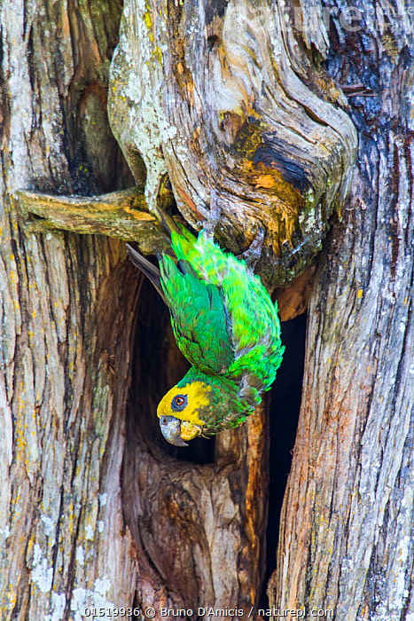 Yellow-fronted parrot (Poicephalus flavifrons) in tree, Zege peninsula, ake Tana. Endemic to Lake Tana Biosphere Reserve, Ethiopia  ,  Animal,Vertebrate,Bird,Birds,Parrot,True parrot,Psittacinae,Animalia,Animal,Wildlife,Vertebrate,Aves,Bird,Birds,Psittaciformes,Parrot,Psittacines,Psittacidae,True parrot,Psittacoidea,Poicephalus,Psittacinae,Africa,East Africa,Ethiopia,Plant,Tree,Reserve,Endemic,Protected area,Native Species,Lake Tana,Poicephalus flavifrons  ,  Bruno D'Amicis