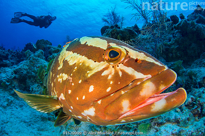 Nassau grouper (Epinephelus striatus) watched by a diver on a coral reef. San Salvador island, Bahamas. Bahamas Sea, Tropical West Atlantic Ocean.  ,  Animal,Vertebrate,Ray-finned fish,Percomorphi,Grouper,Nassau grouper,Animalia,Animal,Wildlife,Vertebrate,Actinopterygii,Ray-finned fish,Osteichthyes,Bony fish,Fish,Perciformes,Percomorphi,Acanthopteri,Serranidae,Epinephelus,Grouper,Epinephelus striatus,Nassau grouper,Anthias cherna,Serranus gymnopareius,Sparus chrysomelas,Diving,Underwater Diving,Scuba Diving,The Caribbean,Portrait,Underwater,Water,Biodiversity hotspots,Endangered species,threatened,Endangered,Marine  ,  Alex Mustard