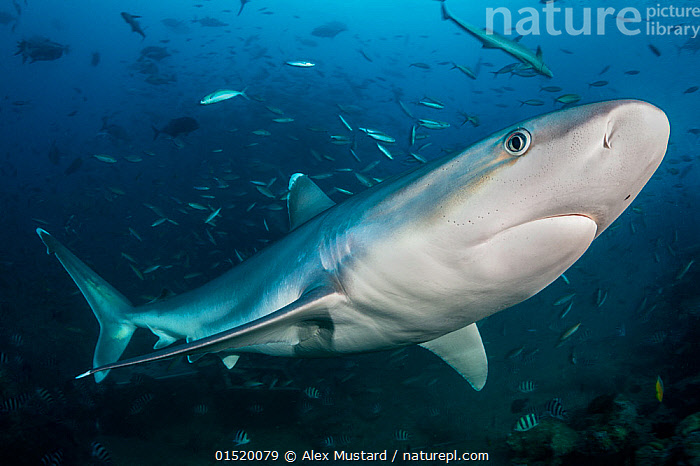 Nature Picture Library Portrait Of Silvertip Shark Carcharhinus