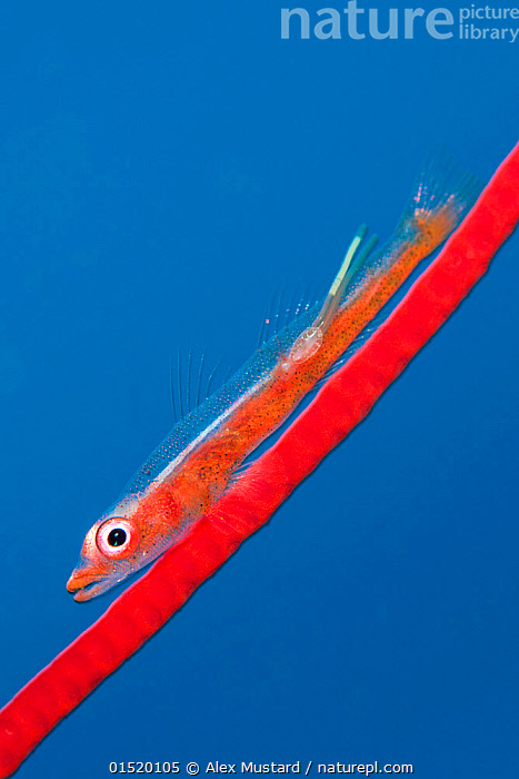 Large whip goby (Bryaninops amplus) with a parasitic copepod (with two trailing egg ribbons) perched on Red whip coral. Whale Rock. Fiabacet Islands, Misool, Raja Ampat, West Papua, Indonesia. Ceram Sea, Pacific Ocean.  ,  Animal,Vertebrate,Ray-finned fish,Percomorphi,Goby,Whip gobies,Large whip goby,Animalia,Animal,Wildlife,Vertebrate,Actinopterygii,Ray-finned fish,Osteichthyes,Bony fish,Fish,Perciformes,Percomorphi,Acanthopteri,Gobiidae,Goby,Bryaninops,Whip gobies,Sea whip gobies,Contrasts,Colour,Blue,Red,Asia,South East Asia,Indonesia,Oceania,Melanesia,New Guinea,Copy Space,Profile,Side View,Tropical,Ocean,Red Sea,Pacific Ocean,Nature,Natural,Natural World,Marine Life,Sea Life,Marine,Underwater,Water,Saltwater,Sea,West Irian Jaya,Irian Jaya,Biodiversity hotspot,Tropics,Negative space,Bryaninops amplus,Large whip goby,Blue Colour,Misool,Marine  ,  Alex Mustard