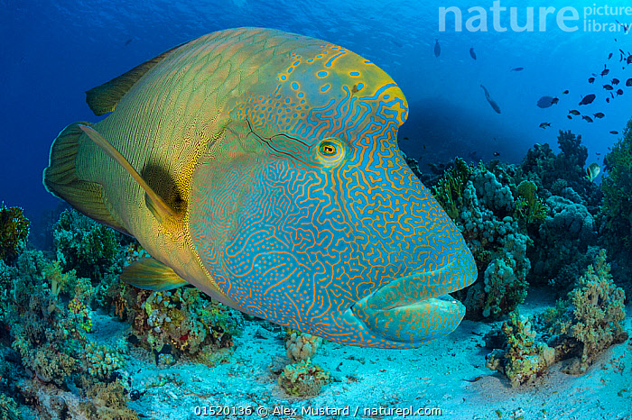 Napoleon wrasse (Cheilinus undulatus) super male,  patrolling coral, Ras Mohammed Marine Park, Sinai, Egypt. Red Sea, Animal,Vertebrate,Ray-finned fish,Percomorphi,Wrasses,Giant Wrasse,Animalia,Animal,Wildlife,Vertebrate,Actinopterygii,Ray-finned fish,Osteichthyes,Bony fish,Fish,Perciformes,Percomorphi,Acanthopteri,Labridae,Wrasses,Cheilinus,Cheilinus undulatus,Giant Wrasse,Humphead,Humphead Wrasse,Maori Wrasse,Napoleon Wrasse,Truck Wrasse,Undulate Wrasse,Africa,North Africa,Northern Africa,Egypt,Portrait,Male Animal,Tropical,Red Sea,Nature,Natural,Natural World,Marine Life,Sea Life,Marine,Underwater,Water,Saltwater,Sea,Tropics,Sinai,Endangered species,threatened,Endangered,Marine, Alex Mustard
