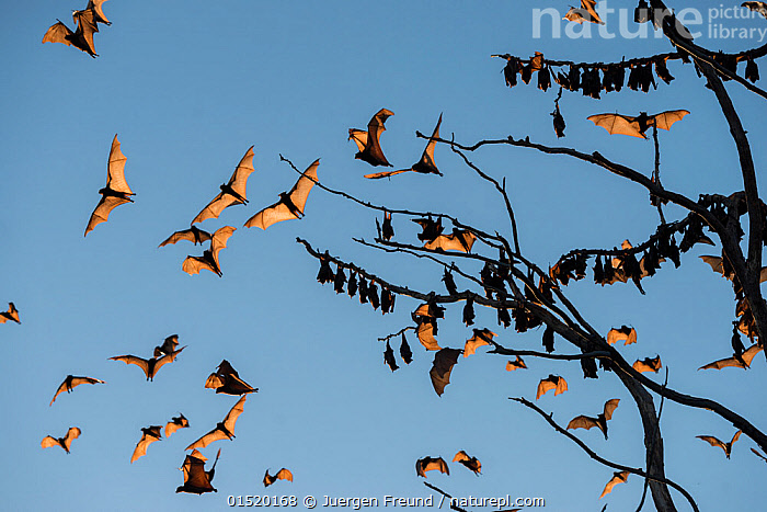 Little red flying-fox (Pteropus scapulatus) flying around and roosting in trees, Atherton Tablelands, Queensland, Australia. December. Second Place in the Man and Nature portfolio category of the Terre Sauvage Nature Images Awards 2015,  and winner of the IUCN bursary award., high15,,Animal,Vertebrate,Mammal,Bat,Mega bat,Flying fox,Little Red Flying Fox,Animalia,Animal,Wildlife,Vertebrate,Mammalia,Mammal,Chiroptera,Bat,Pteropodidae,Mega bat,Megabat,Megachiroptera,Pteropus,Flying fox,Pteropus scapulatus,Little Red Flying Fox,Flying,Roosting,Roost,Mood,On The Move,Togetherness,Close,Together,Group,Large Group,Nobody,Halloween,Australasia,Australia,Queensland,Plant,Tree,Sky,Outdoors,Open Air,Outside,Day,Nature,Natural,Natural World,Wild,Flight,Moving,Blue sky,Atherton Tablelands,Departure,, Jurgen Freund