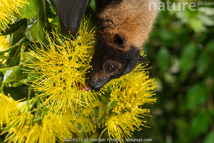 Spectacled flying fox (Pteropus conspicillatus) feeding on nectar from flowers of the Golden penda (Xanthostemon chrysanthus), Atherton Tablelands, Queensland, Australia. June. Second Place in the Man and Nature portfolio category of the Terre Sauvage Nature Images Awards 2015,  and winner of the IUCN bursary award.  ,  high15,,Animal,Vertebrate,Mammal,Bat,Mega bat,Flying fox,Spectacled flying fox,Animalia,Animal,Wildlife,Vertebrate,Mammalia,Mammal,Chiroptera,Bat,Pteropodidae,Mega bat,Megabat,Megachiroptera,Pteropus,Flying fox,Pteropus conspicillatus,Spectacled flying fox,Colour,Yellow,Upside Down,Inverted,Upturned,Nobody,Australasia,Australia,Queensland,Plant,Flower,Flowers,Hair,Fur,Outdoors,Open Air,Outside,Day,Feeding,Atherton Tablelands,Flowerhead,Nectar,Yellow Colour,Animal Hair,  ,  Jurgen Freund