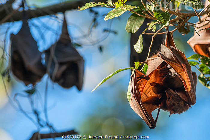 Little red flying fox (Pteropus scapulatus) roosting with baby, Atherton Tablelands, Queensland, Australia. May. Second Place in the Man and Nature portfolio category of the Terre Sauvage Nature Images Awards 2015,  and winner of the IUCN bursary award., catalogue8,,Animal,Vertebrate,Mammal,Bat,Mega bat,Flying fox,Little Red Flying Fox,Animalia,Animal,Wildlife,Vertebrate,Mammalia,Mammal,Chiroptera,Bat,Pteropodidae,Mega bat,Megabat,Megachiroptera,Pteropus,Flying fox,Pteropus scapulatus,Little Red Flying Fox,Sheltering,Hanging,Roosting,Roost,Protection,Upside Down,Inverted,Upturned,Few,Four,Three,Group,Nobody,Australasia,Australia,Queensland,Close Up,Camera Focus,Selective Focus,Focus On Foreground,Focus On Foregrounds,Young Animal,Juvenile,Babies,Plant,Branch,Branches,Light,Lights,Sunlight,Outdoors,Open Air,Outside,Day,Nature,Natural,Natural World,Wild,Family,Mother baby,Mother-baby,mother,Shallow depth of field,Low depth of field,Parent baby,Three Animals,Four animals,Atherton Tablelands,Protector,, Jurgen Freund