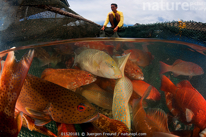 Man moving Grouper fish between fish pens, Tampakan, Kudat, Sabah, Borneo. June 2009. Second Place in the Portfolio Award of the Terre Sauvage Nature Images Awards Competition 2015., catalogue8,,Animal,Vertebrate,Ray-finned fish,Percomorphi,Animalia,Animal,Wildlife,Vertebrate,Actinopterygii,Ray-finned fish,Osteichthyes,Bony fish,Fish,Perciformes,Percomorphi,Acanthopteri,Serranidae,Crouching,People,Pacific Islander Ethnicity,Pacific Islander,Pacific Islanders,Melanesian Ethnicity,Melanesians,Man,Only Men,One Man,Fisherman,Fishermen,Fishers,Contrasts,Mood,Nightmarish,Scale,Proportion,Trapped,Colour,Orange,1 Person,Single,Single Person,Size,Small,Little,Tiny,Giant,Huge,Massive,Large,Big,Asia,South East Asia,Ocean,Pacific Ocean,Outdoors,Open Air,Outside,Marine,Split level,Water,Borneo island,Borneo,Indo Pacific,Saltwater,Aquaculture,Aquafarming,Fishing,Insignificant,Sabah,Surreal,Crowded,Fish Pen,Tampakan,Kudat,, Jurgen Freund
