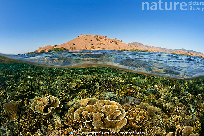 Split level view of coral reef, Komodo National Park, Flores, Lesser Sunda Islands, Indonesia. Second Place in the Portfolio Award of the Terre Sauvage Nature Images Awards Competition 2015.  ,  high15,,Animal,Cnidarian,Anthrozoan,Coral,Animalia,Animal,Wildlife,Cnidaria,Cnidarian,Coelentrerata,Anthozoa,Anthrozoan,Helioporacea,Coral,Growth,Grow,Growing,Grows,Group Of Animals,School,Group,Nobody,Asia,South East Asia,Indonesia,Island,Islands,Reef,Reefs,Coral Reef,Coral Reefs,Sky,Landscape,Landscapes,Outdoors,Open Air,Outside,Day,Nature,Natural,Natural World,Open Space,Open Spaces,Scenery,View,Views,Vista,Travel,Place Of Interest,Travel Destinations,Coast,Marine,Split level,Coastal,Water,Habitat,Reserve,Saltwater,Biodiversity hotspot,Protected area,National Park,View to land,Blue sky,Komodo National Park,Nusa Tenggara,Flores,Lesser Sunda Islands,Invertebrate,Invertebrates,Marine,,NP,Komodo National Park,UNESCO World Heritage Site,  ,  Jurgen Freund