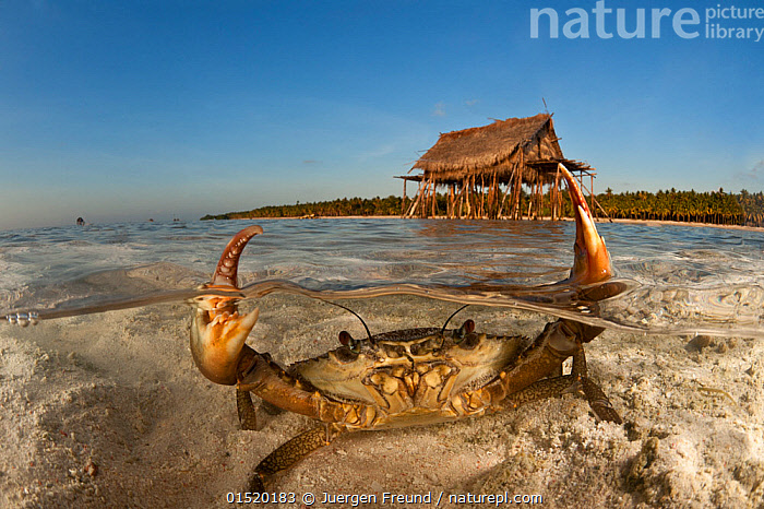 Mud crab (Scylla serrata) in shallow sandy water. Split level with island and thatched house on stilts. Moromahu Island, Wakatobi, South Sulawesi, Indonesia. Second Place in the Portfolio Award of the Terre Sauvage Nature Images Awards Competition 2015.  ,  catalogue8,,Animal,Crustacean,Decapod,Swimming crab,Giant Mud Crab,Animalia,Animal,Wildlife,Crustracea,Crustacean,Malacostraca,Decapoda,Decapod,Portunidae,Swimming crab,Scylla,Scylla serrata,Giant Mud Crab,Mudcrab,Achelous crassimanus,Cancer serrata,Lupa lobifrons,Showing Off,Attention Seeking,Seeking Attention,Winning,Threat,Menace,Menaces,Menacing,Threatening,Threats,Shallow,Nobody,Asia,South East Asia,Indonesia,Close Up,Front View,View From Front,Claw,Claws,Pincers,Stilts,Building,Residential Structure,House,Houses,Sky,Clear Sky,Ocean,Pacific Ocean,Landscape,Landscapes,Outdoors,Open Air,Outside,Day,Coast,Marine,Split level,Coastal,Water,Habitat,Animal Behaviour,Aggression,Arthropod,Arthropods,Indo Pacific,Behaviour,Saltwater,Biodiversity hotspot,Sulawesi,Wallacea,Invertebrate,View to land,Direct Gaze,Blue sky,House on Stilts,Champion,Moromahu Island,Marine  ,  Jurgen Freund