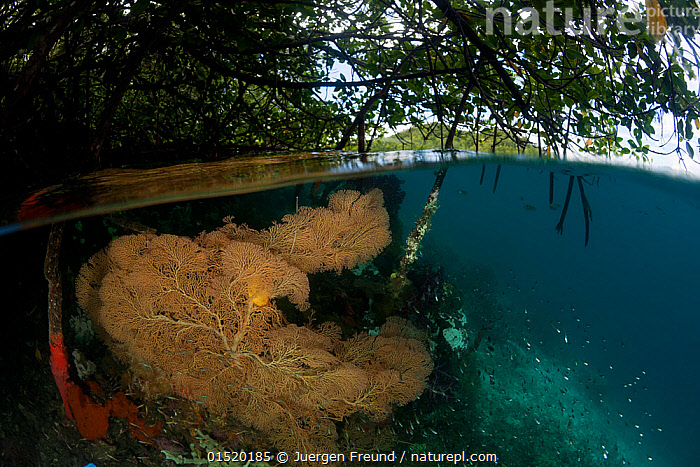 Gorgonian fan coral (Gorgonaceae) in the shallow mangroves, split level. North Raja Ampat, West Papua, Indonesia. Second Place in the Portfolio Award of the Terre Sauvage Nature Images Awards Competition 2015., high15,,Animal,Cnidarian,Anthrozoan,Soft coral,Animalia,Animal,Wildlife,Cnidaria,Cnidarian,Coelentrerata,Anthozoa,Anthrozoan,Alcyonacea,Soft coral,Growth,Grow,Growing,Grows,Below,Beneath,Under,Underneath,Shallow,Nobody,Oceania,Melanesia,New Guinea,Close Up,Surface View,Surface Views,Plant,Tree,Mangrove Tree,Mangrove,Mangrove Trees,Mangroves,Ocean,Pacific Ocean,Outdoors,Open Air,Outside,Day,Coast,Marine,Underwater,Split level,Coastal Wetland,Coastal,Water,Habitat,Indo Pacific,Saltwater,West Irian Jaya,Irian Jaya,Indonesia,Water level,Gorgonacea,North Raja Ampat,Invertebrate,Invertebrates,Marine, Jurgen Freund