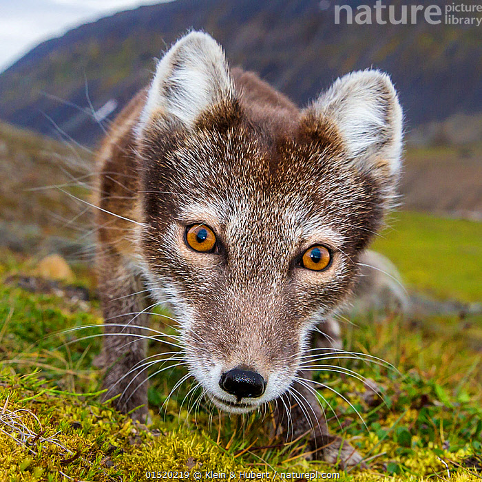 Arctic fox (Alopex lagopus) close up in tundra, Svalbard, Norway, July.  ,  Animal,Vertebrate,Mammal,Carnivore,Canid,True fox,Arctic fox,Animalia,Animal,Wildlife,Vertebrate,Mammalia,Mammal,Carnivora,Carnivore,Canidae,Canid,Vulpes,True fox,Vulpini,Caninae,Vulpes lagopus,Arctic fox,Polar fox,Blue fox,Ice fox,White fox,Alopex lagopus,Canis lagopus,Europe,Northern Europe,North Europe,Nordic Countries,Scandinavia,Norway,Svalbard,Close Up,Portrait,Tundra,Habitat  ,  Klein & Hubert