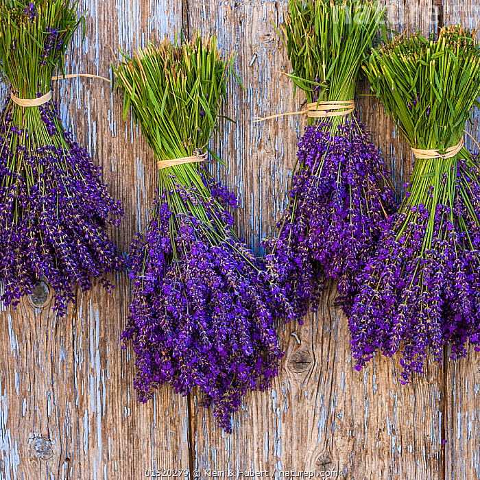 Lavender (Lavendula) bouquets drying on old door, Provence, France., Plant,Vascular plant,Flowering plant,Asterid,Lavender,Plantae,Plant,Tracheophyta,Vascular plant,Magnoliopsida,Flowering plant,Angiosperm,Seed plant,Spermatophyte,Spermatophytina,Angiospermae,Lamiales,Asterid,Dicot,Dicotyledon,Asteranae,Lamiaceae,Labiatae,Lavandula,Lavender,Hanging,Drying,Colour,Purple,Europe,Western Europe,France,Crops,Produce,Cultivated,Cultivation,Flower, Klein & Hubert