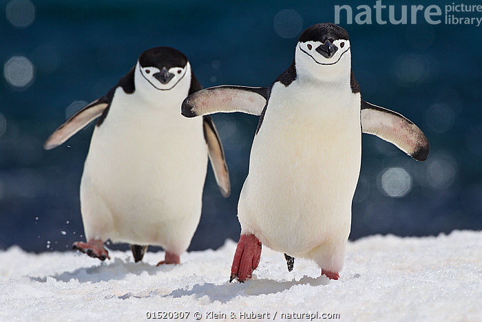 Two Chinstrap penguins (Pygoscelis antarctica) walking in snow, Antarctic Peninsula.  ,  Animal,Vertebrate,Bird,Birds,Penguin,Chinstrap penguin,Animalia,Animal,Wildlife,Vertebrate,Aves,Bird,Birds,Sphenisciformes,Penguin,Seabird,Spheniscidae,Pygoscelis,Pygoscelis antarcticus,Chinstrap penguin,Bearded penguin,Ringed penguin,Pygoscelis antarctica,Walking,Two,Antarctica,Antarctic,Polar,Front View,View From Front,Coast,Coastal,Marine bird,Marine birds,Pelagic bird,Pelagic birds,Flightless  ,  Klein & Hubert