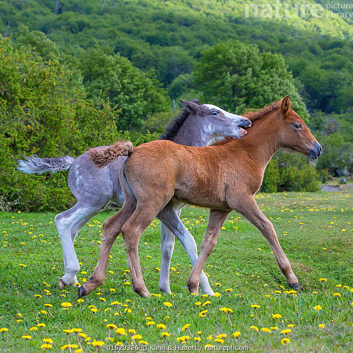 Two semi-wild Criollo foals, a gray sabino colt and a sorrel / chestnut filly, Tierra del Fuego., Equus ferus caballus,Equus caballus,Cute,Adorable,Friendship,Grey,Gray,Latin America,South America,Argentina,Patagonia,Animal,Young Animal,Juvenile,Babies,Baby Mammal,Foal,Foals,Fillies,Colts,Female animal,Male Animal,Animal Behaviour,Playing,Domestic animal,Domestic Horse,Behaviour,Criollo horse,Play,Playful,Equus ferus caballus,Equus caballus,Feral,Horse,Feral horse,Wild horse,Tierra del Fuego,Mammal, Klein & Hubert