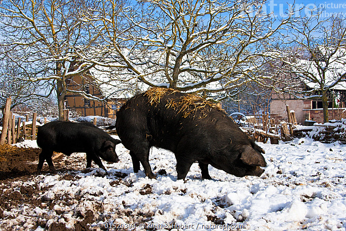 Gascon domestic pigs (Sus scrofa domesticus) in paddock in winter.  ,  Two,Profile,Side View,Animal,Farms,Paddocks,Snow,Winter,Livestock,Domestic animal,Domestic Pig,Sus scrofa domestica,Mammal  ,  Klein & Hubert