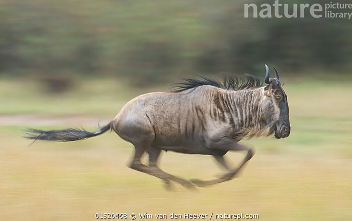 Blue wildebeest  (Connochaetes taurinus) running, Masai Mara, Kenya., Animal,Vertebrate,Mammal,Bovid,Wildebeest,Blue Wildebeest,Animalia,Animal,Wildlife,Vertebrate,Mammalia,Mammal,Artiodactyla,Even-toed ungulates,Bovidae,Bovid,ruminantia,Ruminant,Connochaetes,Wildebeest,Connochaetes taurinus,Blue Wildebeest,Common Wildebeest,Running,Speed,Africa,East Africa,Kenya,Profile,Side View,Maasai Mara,, Wim van den Heever