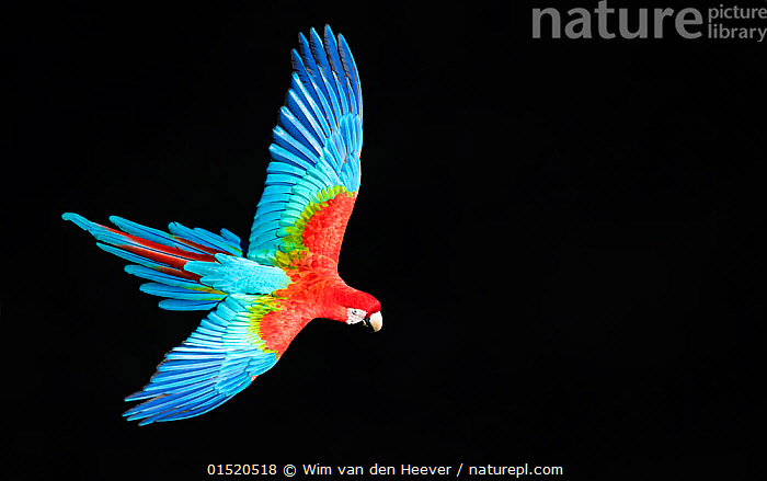Red-and-green macaw (Ara chloropterus) in flight, Pantanal, Brazil. August., catalogue8,,Animal,Vertebrate,Bird,Birds,Parrot,True parrot,Macaw,Green winged macaw,Pantanal wetlands,Animalia,Animal,Wildlife,Vertebrate,Aves,Bird,Birds,Psittaciformes,Parrot,Psittacines,Psittacidae,True parrot,Psittacoidea,Ara,Macaw,Neotropical parrots,Arini,Arinae,Ara chloroptera,Green winged macaw,Red and green macaw,Ara chloropterus,Flying,Soar,Determination,Direction,Freedom,On The Move,Sureness,Certain,Certainty,Sure,Joy,Colour,Blue,Red,Colourful,Colorful,Nobody,Vibrant Colour,Latin America,South America,Brazil,Copy Space,Plain Background,Black Background,Wing,Wings,Outdoors,Open Air,Outside,Day,Nature,Natural,Natural World,Wild,Flight,Wings spread,Wingspan,Negative space,Pantanal,Pantanal wetlands,Moving,Purpose,Blue Colour,, Wim van den Heever