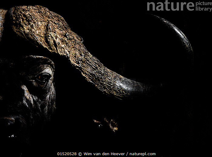 Cape Buffalo (Syncerus caffer) in darkness, Masai Mara, Kenya., catalogue8,,Animal,Vertebrate,Mammal,Bovid,Buffalo,African buffalo,Animalia,Animal,Wildlife,Vertebrate,Mammalia,Mammal,Artiodactyla,Even-toed ungulates,Bovidae,Bovid,ruminantia,Ruminant,Syncerus,Buffalo,Syncerus caffer,African buffalo,Alertness,Alert,Mood,Ominous,Foreboding,Threat,Menace,Menaces,Menacing,Threatening,Threats,Nobody,Part Of,Dark,Darkness,Horned,Rough,Coarse,Uneven,Textured,Africa,East Africa,Kenya,Plain Background,Black Background,Close Up,Front View,View From Front,Portrait,Outdoors,Open Air,Outside,Night,Nature,Natural,Natural World,Wild,Horn,Direct Gaze,, Wim van den Heever