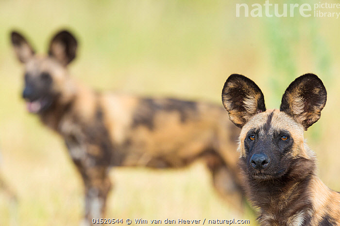 African wilddog (Lycaon pictus) portrait, with another dog in the background. Okavango Delta, Botswana., Animal,Vertebrate,Mammal,Carnivore,Canid,Dog,African Wild Dog,Animalia,Animal,Wildlife,Vertebrate,Mammalia,Mammal,Carnivora,Carnivore,Canidae,Canid,Lycaon,Dog,Lycaon pictus,African Wild Dog,Cape Hunting Dog,Painted Hunting Dog,Two,Africa,Southern Africa,Botswana,Portrait,Camera Focus,Selective Focus,Shallow depth of field,Low depth of field,Okavango Delta,Endangered species,threatened,Endangered, Wim van den Heever