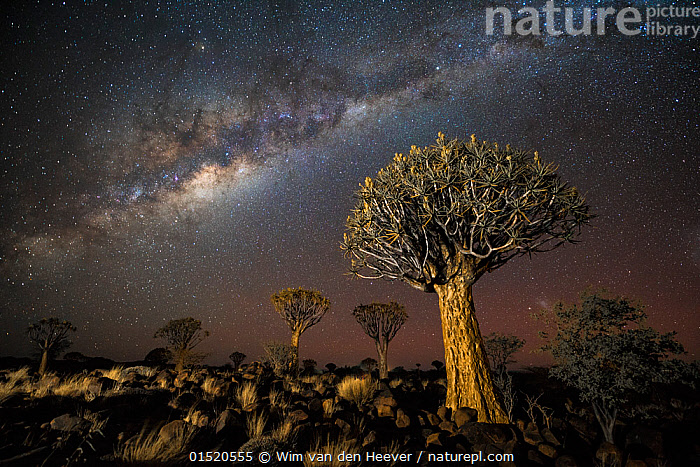 Quiver tree forest (Aloe dichotoma) at night with stars and the Milky Way, Keetmanshoop, Namibia.  ,  catalogue8,,Plant,Vascular plant,Flowering plant,Monocot,Quiver tree,Plantae,Plant,Tracheophyta,Vascular plant,Magnoliopsida,Flowering plant,Angiosperm,Seed plant,Spermatophyte,Spermatophytina,Angiospermae,Asparagales,Monocot,Monocotyledon,Lilianae,Xanthorrhoeaceae,Aloe,Aloe dichotoma,Quiver tree,Kokerboom,Rhipidodendrum dichotomum,Astonishing,Spectacular,Independence,Independent,Magic,Magical,Mystery,Mysterious,Nobody,Africa,Southern Africa,Namibia,South-West Africa,Tree,Desert,Deserts,Outer Space,The Universe,Galaxy,Galaxies,Sky,Landscape,Landscapes,Outdoors,Open Air,Outside,Night,Celestial Body,Celestial Bodies,Nature,Natural,Natural World,Beauty In Nature,Habitat,Forest,Dramatic,Namibian,Lit Up,Milky Way,Keetmanshoop,,,stars,night,astrophotography,stargazing,  ,  Wim van den Heever