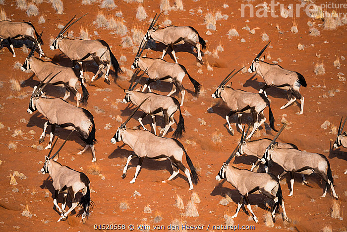 Gemsbok (Oryx gazella) viewed from above, Namib Desert, Namibia., catalogue8,,Animal,Vertebrate,Mammal,Bovid,Oryx,Gemsbok,Animalia,Animal,Wildlife,Vertebrate,Mammalia,Mammal,Artiodactyla,Even-toed ungulates,Bovidae,Bovid,ruminantia,Ruminant,Oryx,Oryx gazella,Gemsbok,Moving After,Following,Follow,Follows,Walking,Direction,Obedience,Togetherness,Close,Together,Colour,Brown,Group Of Animals,Herd,Herds,Group,Large Group,Nobody,Pattern,Patterned,Patterns,Africa,Southern Africa,Namibia,South-West Africa,Aerial View,High Angle View,Desert,Deserts,Namib Desert,Outdoors,Open Air,Outside,Day,Nature,Natural,Natural World,Wild,Elevated view,Namibian,Moving,Animal marking,Hues,Purpose,Brown Colour,,,Beauty in nature,,,beauty in nature,, Wim van den Heever