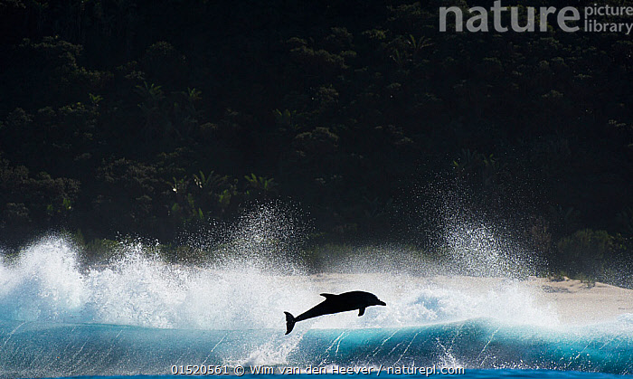 Bottlenosed dolphin (Tursiops truncatus)  porpoising during annual sardine run, Port St Johns, South Africa. June.  ,  catalogue8,,Animal,Vertebrate,Mammal,Ceteacean,Oceanic dolphin,Bottle nose dolphins,Bottle-nosed Dolphin,Animalia,Animal,Wildlife,Vertebrate,Mammalia,Mammal,Cetacea,Ceteacean,Delphinidae,Oceanic dolphin,Dolphin,Odontoceti,Tursiops,Bottle nose dolphins,Tursiops truncatus,Bottle-nosed Dolphin,Bottlenosed Dolphin,Bottlenose Dolphin,Common Bottlenose Dolphin,Breaching,Jumping,Agility,Agile,Effort,Exertion,Trying,Energetic,Freedom,Hope,Magic,Magical,On The Move,Alone,Solitude,Solitary,Joy,Mid Air,Nobody,Africa,Southern Africa,South Africa,Copy Space,Back Lit,Backlit,Flowing Water,Ocean,Pacific Ocean,Outdoors,Open Air,Outside,Day,Freshwater,Marine,Water,Animal Behaviour,Temperate,Silhouette,Behaviour,Saltwater,Sea,Breaches,Porpoising,Leaping,Leaps,Leap,Surfacing,Negative space,South African,Moving,Sealife,Surface,Water spray,Upstream,Against the Odds,Marine  ,  Wim van den Heever