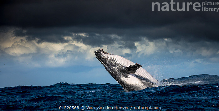 Humpback Whale (Megaptera novaeangliae) breaching during annual sardine run, Port St Johns, South Africa, June.  ,  catalogue8,,Animal,Vertebrate,Mammal,Ceteacean,Humpback Whale,Animalia,Animal,Wildlife,Vertebrate,Mammalia,Mammal,Cetacea,Ceteacean,Megaptera,Megaptera novaeangliae,Humpback Whale,Bunch,Hump Whale,Hunchbacked Whale,Megaptera nodosa,Megaptera lalandii,Megaptera longimana,Breaching,Agility,Agile,Freedom,Independence,Independent,Mood,Ominous,Foreboding,On The Move,Strength,Upside Down,Inverted,Upturned,Nobody,Dark,Darkness,Africa,Southern Africa,South Africa,Panoramic,Sky,Cloud,Storm Cloud,Ocean,Pacific Ocean,Weather,Overcast,Outdoors,Open Air,Outside,Day,Nature,Natural,Natural World,Marine,Water,Animal Behaviour,Temperate,Behaviour,Saltwater,Sea,Breaches,Surfacing,Dramatic,South African,Moving,Sealife,Surface,,Balaenopteridae,  ,  Wim van den Heever