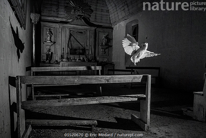 Barn owl (Tyto alba) flying in old chapel at night, taken with infra red remote camera trap, Mayenne, Pays de Loire, France, November.  ,  Animal,Vertebrate,Bird,Birds,Owl,Barn owl,Animalia,Animal,Wildlife,Vertebrate,Aves,Bird,Birds,Strigiformes,Owl,Bird of prey,Tytonidae,Tyto,Tyto alba,Barn owl,Western barn owl,Common barn owl,Flying,Abandoned,Europe,Western Europe,France,Pays de la Loire,Lighting Technique,Building,Church,Churches,Chapel,Chapels,Night,Nature Reclamation,Nature taking over,Flight,Mayenne,  ,  Eric  Medard