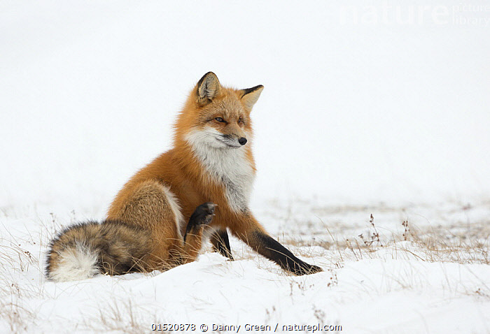 Red fox (Vulpes vulpes) scratching in the snow, Churchill, Cananda, November, catalogue8,,Animal,Vertebrate,Mammal,Carnivore,Canid,True fox,Red fox,Animalia,Animal,Wildlife,Vertebrate,Mammalia,Mammal,Carnivora,Carnivore,Canidae,Canid,Vulpes,True fox,Vulpini,Caninae,Vulpes vulpes,Red fox,Scratching,Sitting,Glance,Glances,Glancing,Look Away,Looks Away,Impatience,Impatiance,Impatiant,Impatient,Nobody,North America,Canada,Manitoba,Copy Space,Side View,Ear,Animal Ears,Ears,Animal Limbs,Limb,Animal Legs,Legs,Leg,Hind Leg,Hind Legs,Snow,Outdoors,Open Air,Outside,Winter,Day,Nature,Natural,Natural World,Wild,Countryside,Negative space,Churchill,Ears Pricked,, Danny Green