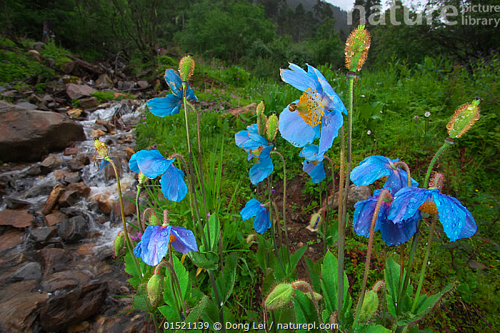 Blue poppy (Meconopsis betonicifolia),  Mount Namjagbarwa, Yarlung Zangbo Grand Canyon National Park, Tibet, China., Plant,Vascular plant,Flowering plant,Dicot,Himalayan Blue Poppy,Plantae,Plant,Tracheophyta,Vascular plant,Magnoliopsida,Flowering plant,Angiosperm,Seed plant,Spermatophyte,Spermatophytina,Angiospermae,Ranunculales,Dicot,Dicotyledon,Ranunculanae,Papaveraceae,Fumariaceae,Meconopsis,Colour,Blue,Asia,East Asia,China,Flower,Flowing Water,Stream,Streams,Freshwater,Water,Reserve,Meconopsis betonicifolia,Himalayan Blue Poppy,Protected area,National Park,Qinghai Tibetan Plateau,Blue Colour,, Dong Lei