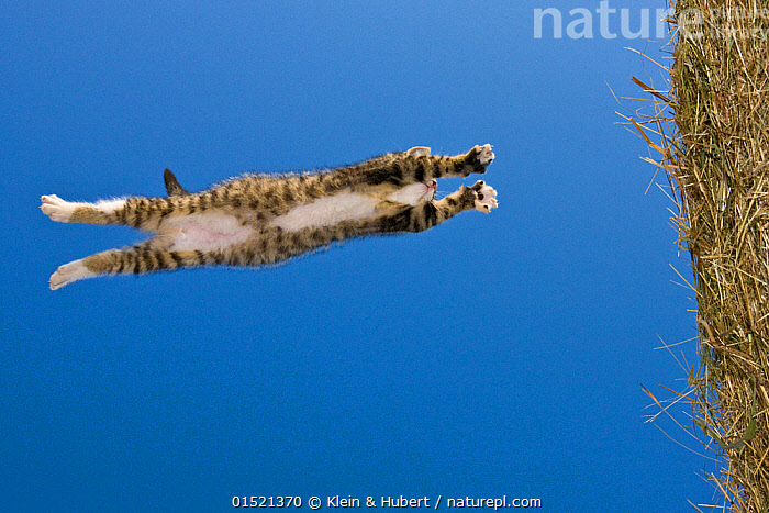 underside view of Tabby kitten (age 2 and a half months) leaping / jumping on to hay bale, France.  ,  Felis catus,Jumping,Mid Air,Animal,Young Animal,Juvenile,Babies,Baby Mammal,Kitten,Kittens,Hay,Farms,Outdoors,Open Air,Outside,Exploration,Domestic animal,Pet,Domestic Cat,Cats,Felis catus,Cat,Tabby,Hay Bale,,,Rebel,  ,  Klein & Hubert