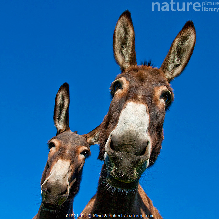 Two Norman domestic donkeys, viewed from below, France., Equus assinus,Curiosity,Friendship,Europe,Western Europe,France,Low Angle View,Portrait,Animal,Sky,Domestic animal,Domestic Donkey,Ass,Equus assinus,Donkey,Blue sky,Mammal,, Klein & Hubert
