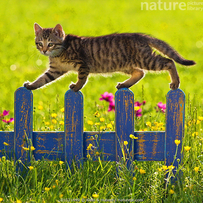 Tabby kitten (age 7 weeks) walking on fence in garden with buttercups, France.  ,  Felis catus,Cute,Adorable,Colour,Blue,Yellow,Portrait,Animal,Young Animal,Juvenile,Babies,Baby Mammal,Kitten,Kittens,Plant,Buttercup Order,Buttercup Family,Ranunculaceae,Buttercup,Buttercups,Ranuncula,Ranunculas,Ranunculi,Ranunculus,Ranunculuses,Boundary,Fence,Outdoors,Open Air,Outside,Spring,Summer,Exploration,Domestic animal,Pet,Domestic Cat,Cats,Felis catus,Cat,Tabby,Blue Colour,Yellow Colour  ,  Klein & Hubert