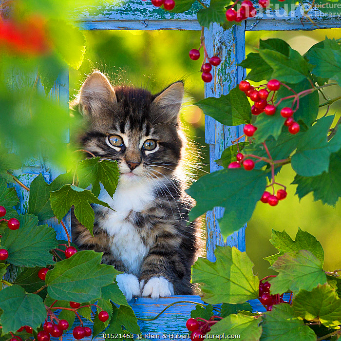 Tabby kitten (age two months) sitting in old window frame with viburnum berries. France.  ,  Felis catus,Sitting,Cute,Adorable,Portrait,Animal,Young Animal,Juvenile,Babies,Baby Mammal,Kitten,Kittens,Plant,Honeysuckle Family,Viburnum,Viburnums,Berry,Outdoors,Open Air,Outside,Autumn,Autumnal,Fall,Domestic animal,Pet,Domestic Cat,Cats,Fruit,Felis catus,Cat,Tabby,Direct Gaze  ,  Klein & Hubert