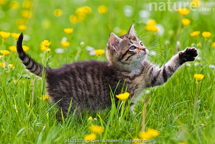 Tabby kitten (age 7 weeks) batting paw, in garden with buttercups, France., Felis catus,Curiosity,Cute,Adorable,Colour,Yellow,Animal,Young Animal,Juvenile,Babies,Baby Mammal,Kitten,Kittens,Plant,Buttercup Order,Buttercup Family,Ranunculaceae,Buttercup,Buttercups,Ranuncula,Ranunculas,Ranunculi,Ranunculus,Ranunculuses,Flower,Outdoors,Open Air,Outside,Spring,Summer,Exploration,Animal Behaviour,Playing,Domestic animal,Pet,Behaviour,Domestic Cat,Cats,Play,Playful,Felis catus,Cat,Tabby,Yellow Colour, Klein & Hubert