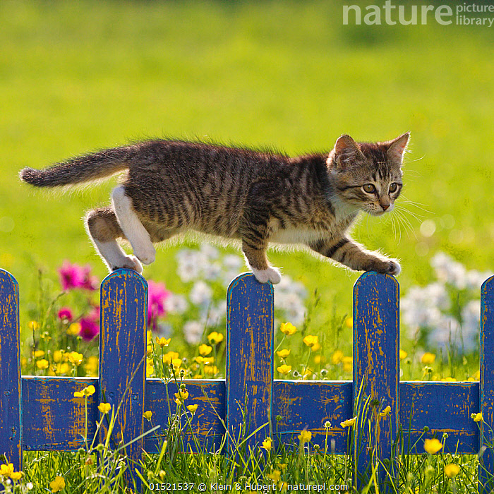 Tabby and white kitten (age 2 and a half months) on blue fence in garden, France., Felis catus,Walking,Cute,Adorable,Colour,Blue,Animal,Young Animal,Juvenile,Babies,Baby Mammal,Kitten,Kittens,Boundary,Fence,Outdoors,Open Air,Outside,Summer,Exploration,Domestic animal,Pet,Domestic Cat,Cats,Felis catus,Cat,Tabby,Blue Colour, Klein & Hubert