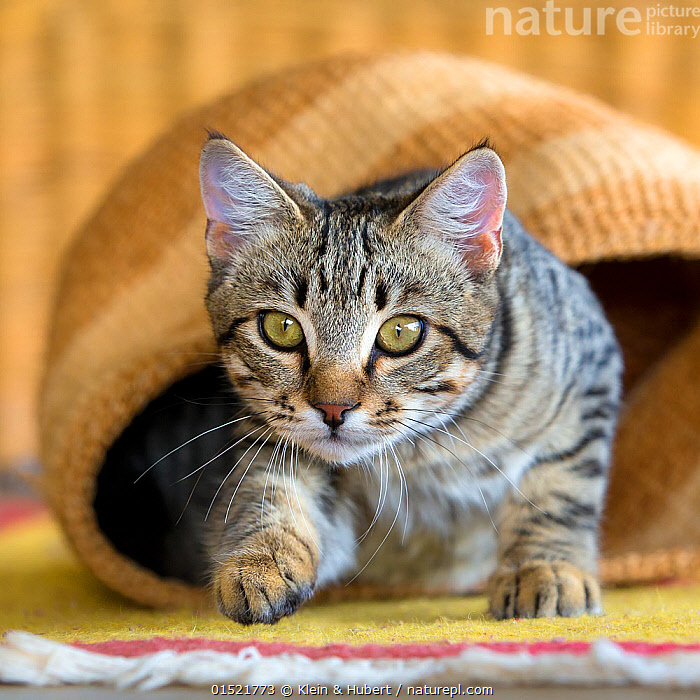 Tabby cat starting to play-hunt from a handwoven basket., Felis catus,Focus,Animal,Container,Containers,Basket,Baskets,Indoors,Animal Behaviour,Playing,Domestic animal,Pet,Behaviour,Domestic Cat,Cats,Play,Playful,Felis catus,Cat,Tabby,Focused,, Klein & Hubert
