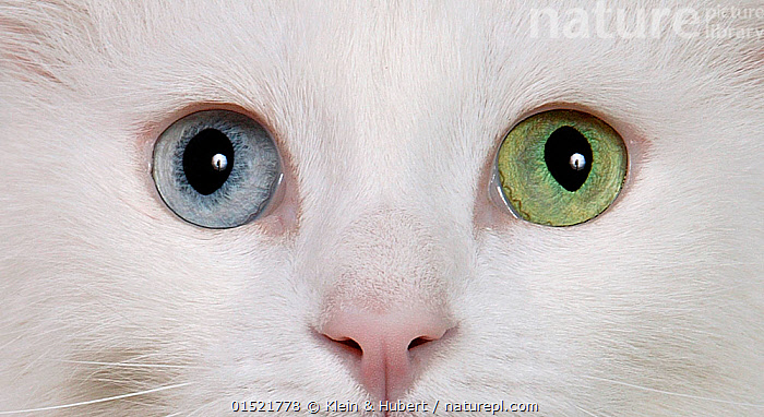 066629d810 Close up of face and eyes of Turkish angora cat with white coat. The eyes of  this cat show heterochroma iridium or different coloured eyes.