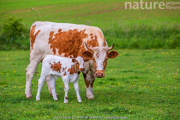 Simmental x Holstein cow and her calf (age one) in meadow, France.  ,  Animal,Young Animal,Juvenile,Babies,Baby Mammal,Calf,Female animal,Cow,Pastures,Livestock,Grassland,Domestic animal,Cattle,Cows,Family,Mother baby,Mother-baby,mother,Parent baby,Mammal,  ,  Klein & Hubert