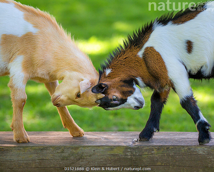 Two pygmy goat kids play fighting, head butting, on a bench, France.  ,  Europe,Western Europe,France,Animal,Young Animal,Juvenile,Babies,Baby Mammal,Kid Goat,Kid Goats,Young Goat,Young Goats,Livestock,Animal Behaviour,Aggression,Fighting,Domestic animal,Behaviour,Domestic Goat,Capra aegagrus hircus,Mammal,  ,  Klein & Hubert