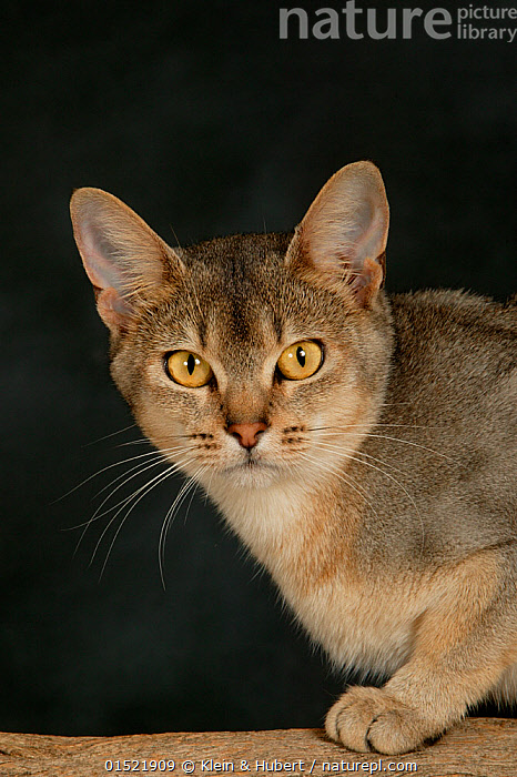 Nature Picture Library - Abyssinian cat, female with silver