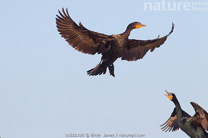 Double-crested cormorants (Phalacrocorax auritus) in flight, aggresivlely calling each other, Fort Myers Beach, Florida, USA, March.  ,  Animal,Vertebrate,Bird,Birds,Phalacrocoraciformes,Cormorant,Double crested cormorant,American,Animalia,Animal,Wildlife,Vertebrate,Aves,Bird,Birds,Suliformes,Phalacrocoraciformes,Phalacrocoracidae,Cormorant,Phalacrocorax,Phalacrocorax auritus,Double crested cormorant,White crested cormorant,Vocalisation,Calling,Call,Flying,North America,USA,Southern USA,Southeast US,Florida,Animal Behaviour,Aggression,Behaviour,Flight,American,Seabird,Seabirds,Marine bird,Marine birds,Pelagic bird,Pelagic birds  ,  Ernie  Janes