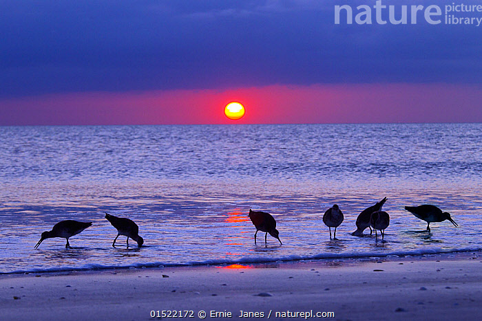 Willets (Catoptrophorus semipalmatus) feeding at sunset Gulf Coast, Florida, USA, March., Animal,Vertebrate,Bird,Birds,Sandpiper,Willet,American,Animalia,Animal,Wildlife,Vertebrate,Aves,Bird,Birds,Charadriiformes,Scolopacidae,Sandpiper,Wader,Shorebird,Tringa,Tringa semipalmata,Willet,Catoptrophorus semipalmatus,Shanks,Group,North America,USA,Southern USA,Southeast US,Florida,Back Lit,Backlit,Sunset,Setting Sun,Sunsets,Coast,Coastal,Silhouette,Dusk,American,, Ernie  Janes